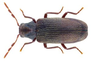 Wood Borer, we deal with any species of beetle successfully and guarantee resalts.