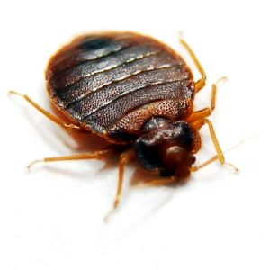 Bed Bug Control Johannesburg is a service provided by Johannesburg Pest Control