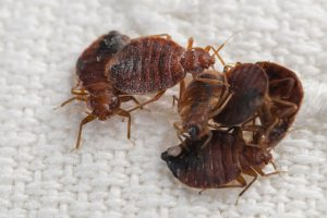 Bed Bug Control Johannesburg, a featured professional pest extermination by Johannesburg Pest Control..