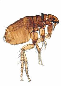 Flea Control Johannesburg is an important part of a pet owners health an well being. Having a Flea free home ensures a home free of parasites such as Tape Worm. Johannesburg Pest Control are the industry experts at all things that involve Biting Insects.