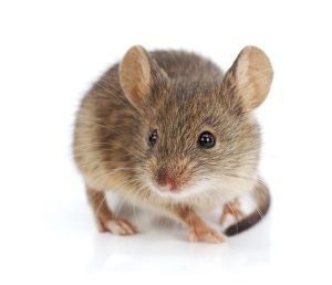 Without Mouse Control Johannesburg, mice such as the House Mouse cause damage and spread disease.