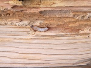 Wood Borer Damage can be stopped by professionals