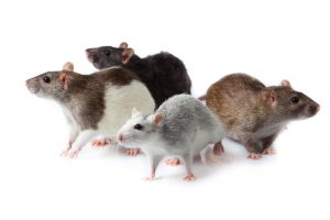 Rodent Control Johannesburg for all manor or rats, mice and moles.