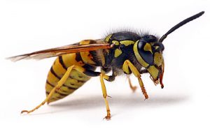 Wasp Control dont by professional extermiantors