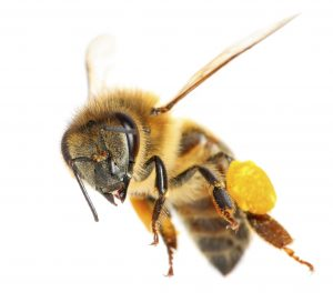 Bee Control Johannesburg remove swarms of bees before ever thinking of extermination.