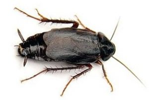 Johannesburg Pest Control recognises these Roaches as a Common Cockroach in Johannesburg
