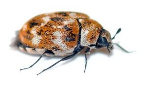 Our Carpet Beetle Control Johannesburg team deal with any and all Pest Insect Species.
