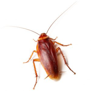 American Cockroaches Control Johannesburg is a specialist roach treatment carried out by the Johannesburg Pest Control specialists