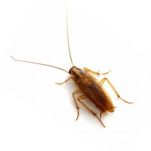 German Cockroach Control Johannesburg is also carried out by our Johannesburg Pest Cotrol groupe of expert exterminators