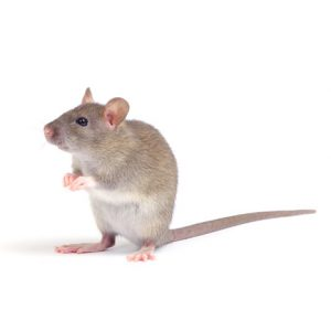 Rat Control Johannesburg is another quality service and tailored pest management service by Johannesburg Pest Control