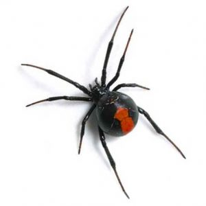 Dangerous Black Widow Spider Control Johannesburg carried out by the extermination exerts at Johannesburg Pest Control
