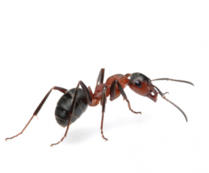 Argentine Ant Control Johannesburg is just one of many Ant Exterminations Johannesburg Pest Control has to offer.