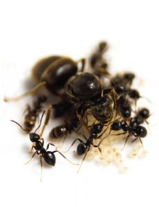 Black Garden Ant Control Johannesburg for any level of Ant Infestation. JOhannesburg Pest Control are a cut above the rest.