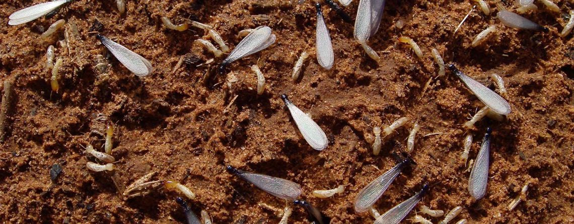 Get rid of Termites in Johannesburg