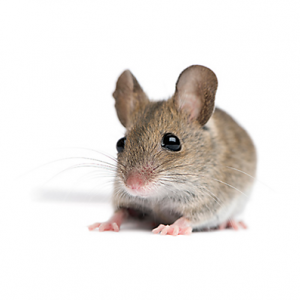 Mouse Control Johannesburg is geared for the prevention and maintenance of a Rodent free home, a service proudly offered by Johannesburg Pest Control
